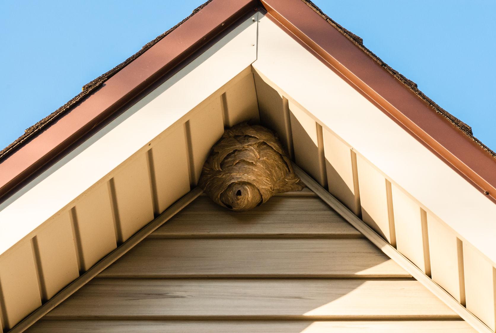 wasp nest san jose