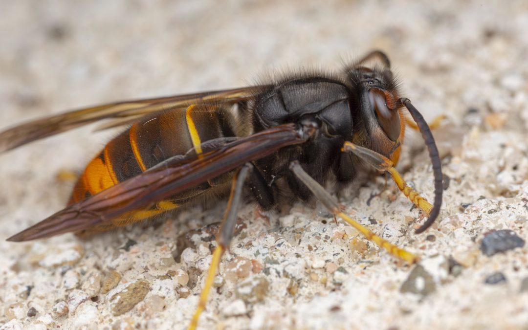 murder hornet in california