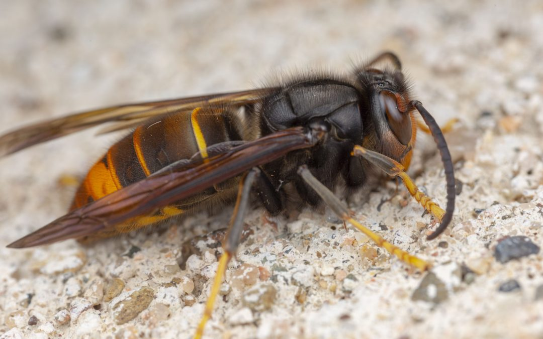 murder hornet in california